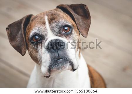 Old Boxer Dog - stock photo