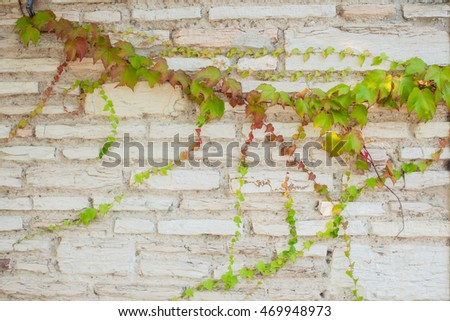 Old brick wall background with green ivy branch.