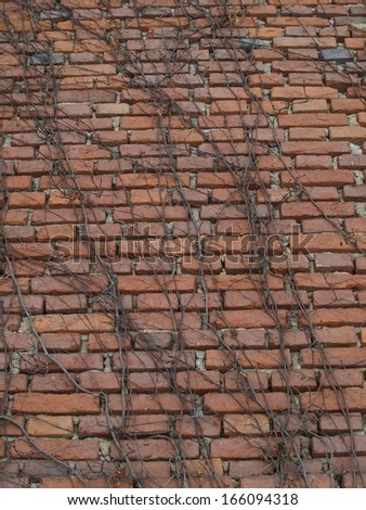old brick wall with climbing plant - stock photo