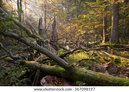 Old broken oak tree branch lying and sunbeams above,Bialowieza Forest,Poland,Europe