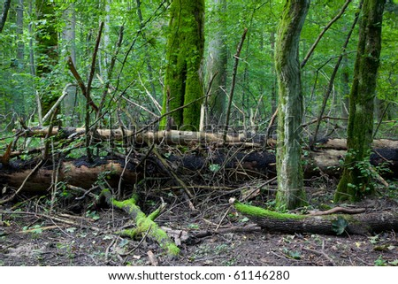 Old broken spruce trees lying inside deciduous stand of Bialowieza forest - stock photo