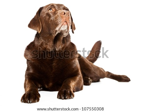 Old brown labrador dog isolated on white background. Studio shot. - stock photo