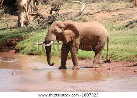 Old bull elephant with a broken tusk, coming down to the river to drink - stock photo