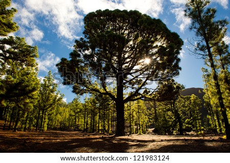 old canarian pine - stock photo