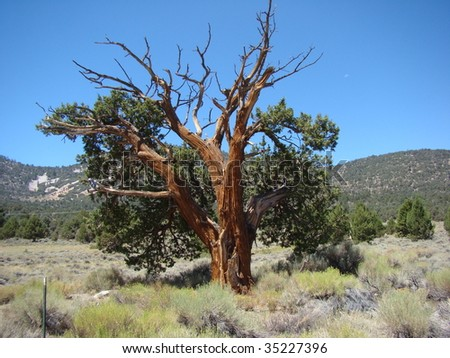 Old Cedar Tree in the Southern California Mountains of Big Bear Lake