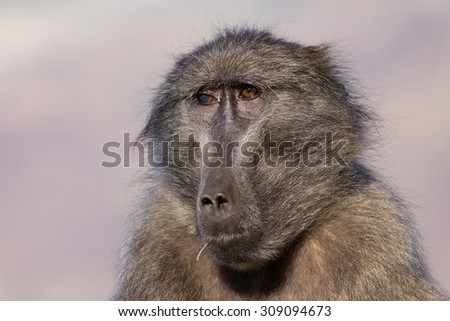 Old chacma baboon female with one blind eye