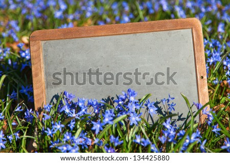 old chalk board in spring squill flowers