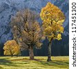 old cracked maple trees on a valley bottom in the austrian alps, autumnal trees with back lighting - stock photo