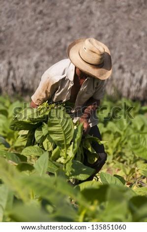 Old cuban farmer on the tobacco field, Cuba - stock photo