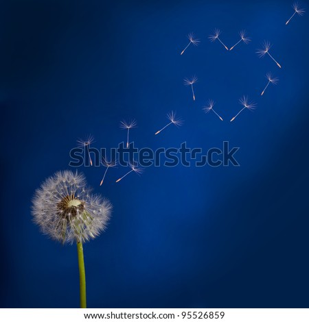 old dandelion and flying seeds on blue background