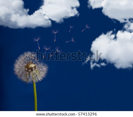 old dandelion and flying seeds on sky background - stock photo