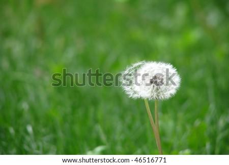 Old Dandelions seeding - stock photo