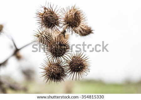 Old dead thistle buds in winter
