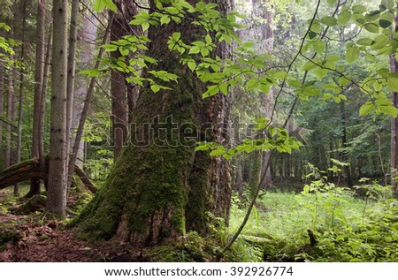 Old deciduous stand of Bialowieza Forest Landscape Reserve just before sunset in summer,Bialowieza Forest,Poland,Europe - stock photo