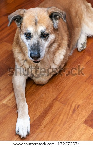 old dog crouched - stock photo