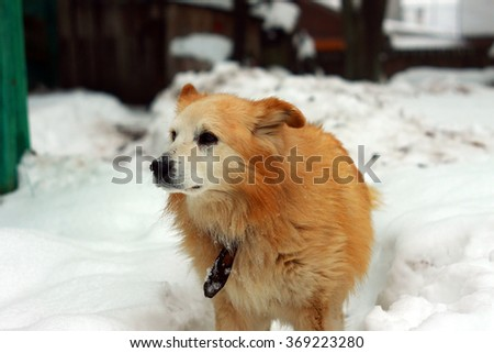 Old dog on the snow winter yard background