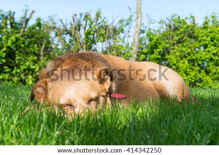 Old dog sleeping outdoor laying in the sun  - stock photo