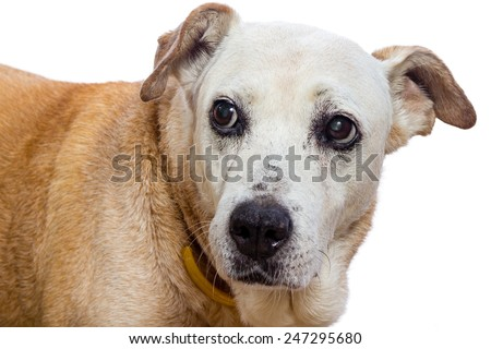 Old dog with expressive face on white background, sad, Remorse - stock photo