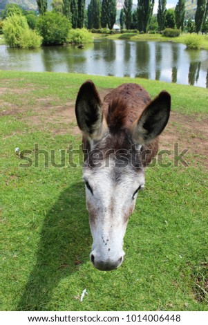 Old donkey all grey hears - waiting patiently