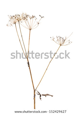 old dry plant isolated on white background
