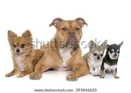 old english bulldog and chihuahua in front of white background