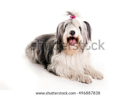 Old English Sheepdog laying in white studio