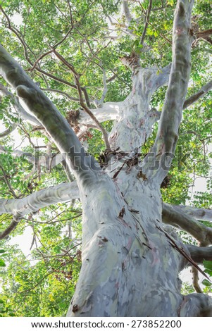 Old eucalyptus tree - stock photo