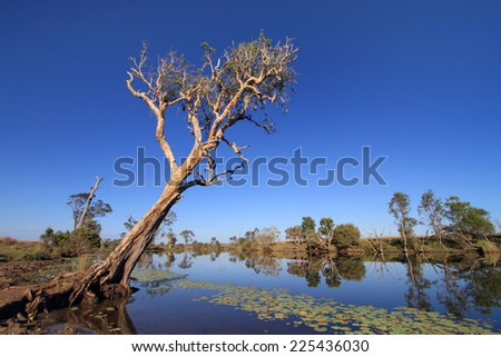 Old eucalyptus tree on the banks of an Australian outback creek with water lillies in the foreground. - stock photo