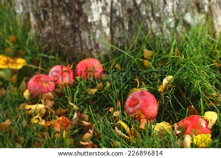 Old fallen apples  by an apple tree on autumn leaf covered grass - stock photo