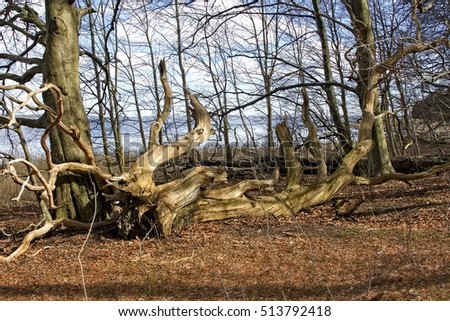 Old fallen tree surrounded by leaves in the forest.