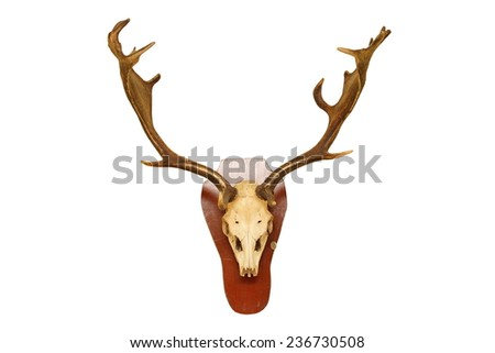 old fallow deer stag ( Dama ) hunting trophy isolated on white background for your design