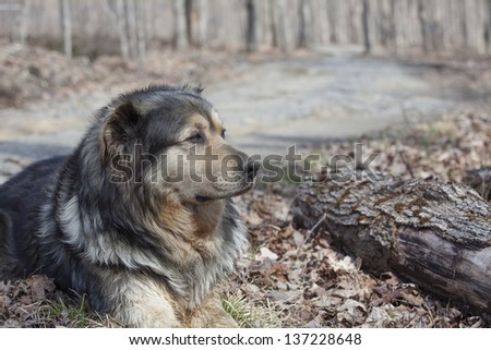 Old farm dog resting in the woods on a sunny spring day - stock photo