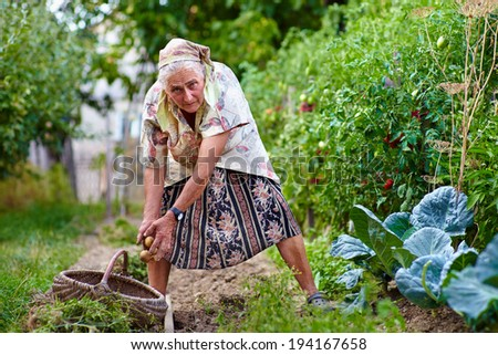 Old farmer lady collecting potatoes in a thatched basket in her garden - stock photo