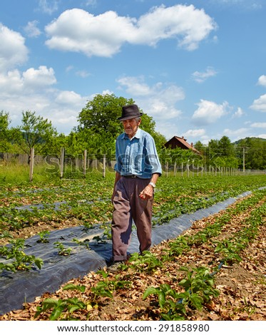 Old farmer walking among the strawberry rows on the field - stock photo