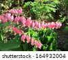 Old-fashioned bleeding-heart (Lamprocapnos spectabilis) flowers in the garden - stock photo