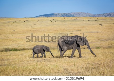 Old female elephant, with big tusks, followed by a elephant calf in the northern Serengeti National Park, Tanzania, Africa - stock photo
