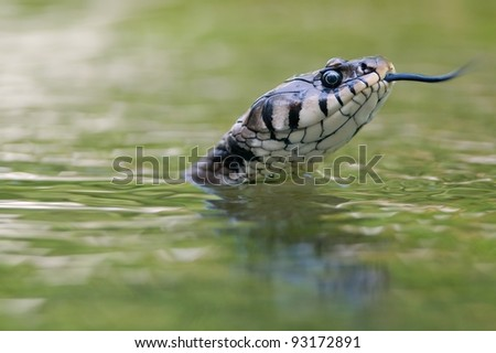 "Old female European grass snake (Natrix natrix) swimming in the water and ""feeling"" the air with his forked tongue. - stock photo"