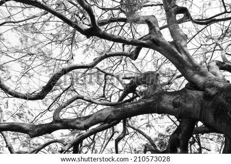 Old Flame tree in black-white tone - stock photo