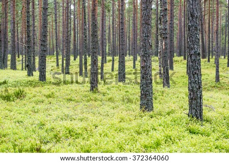 Old forest with moss covered trees and rays of sun in summer. - stock photo