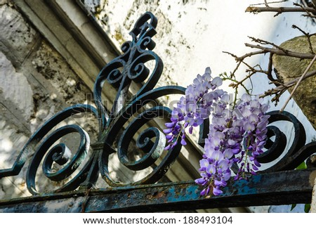 Old forging gate with ornament (entry to abandoned manor)  and stone brick wall overgrown with blooming Wisteria flowers . Light and shadow. - stock photo
