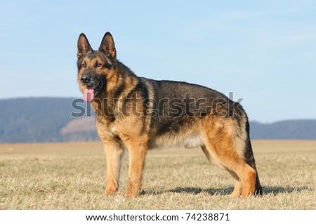 old german sheepdog with grey snout german shepherd Deutscher Schäferhund - stock photo
