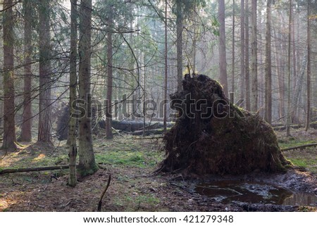 Old giant trees of Bialowieza Forest coniferous stand broken down in fall morning mist, Bialowieza Forest, Poland, Europe - stock photo