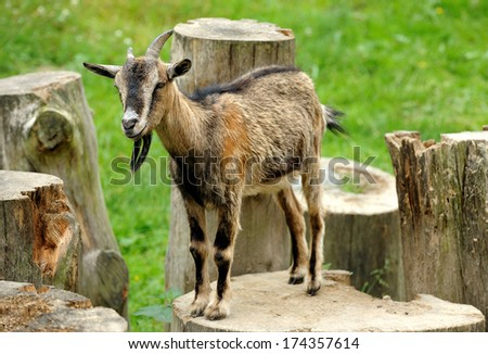 Old goat waist August the meadow - stock photo