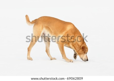 old  Golden Labrador Retriever walks and sniffs on snow outdoor   of the white background - stock photo
