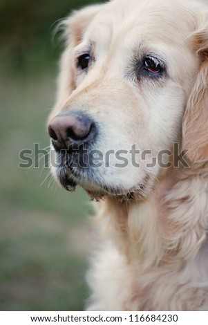 Old Golden Retriever  in Autumnal Nature - stock photo