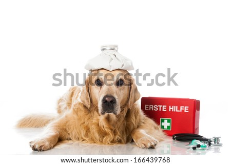 Old golden retriever with cool bag and emergency cases - stock photo