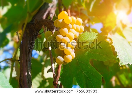 Old grapevine with amber bunch of grapes in the sun.