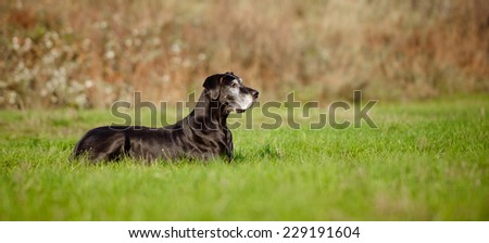 old great dane dog lying down outdoors - stock photo