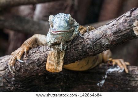Old Green Iguana  on the tree look at camera - stock photo