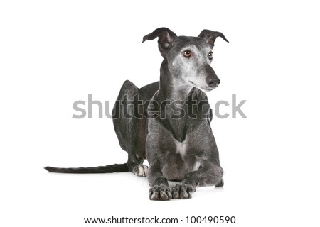 Old greyhound in front of a white background - stock photo
